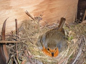 Robwatch The robin sitting on a new clutch of eggs